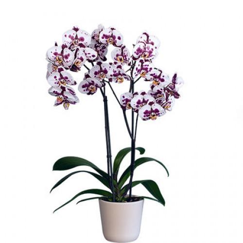 Купить на заказ Заказать Орхидея микс. с доставкой по Атырау с доставкой в Атырау