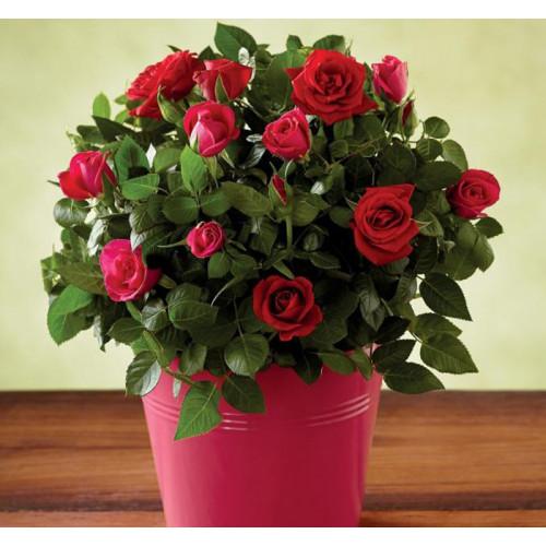 Купить на заказ Заказать Роза комнатная с доставкой по Атырау с доставкой в Атырау